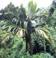 palmeira-marquesa