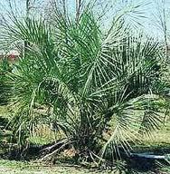 palmeira-de-agulha
