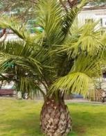 palmeira-do-chile
