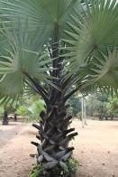 palmeira-marfim