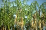 palmeira-jaraiuba