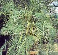palmeira-bambu