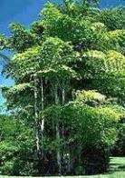 palmeira-rabo-de-peixe