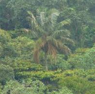palmeira-de-cera