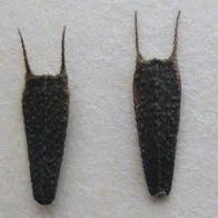pic�o-de-folhas-grandes