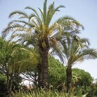 palmeira-da-igreja