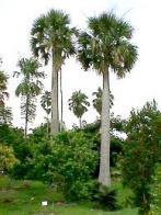 palmeira-chapéu