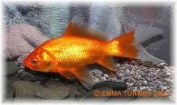 peixe-da-china