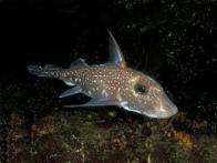 peixe-coelho