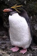Imagem de pinguim-macaroni