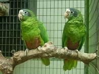 Imagem de papagaio-de-hispaniola
