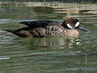 Imagem de pato-de-asas-bronze