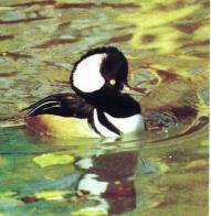 Imagem de pato-mergulhão-com-capuz
