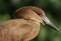 Imagem de pássaro-martelo