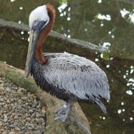 Imagem de pelicano-pardo