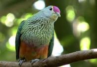 Imagem de pomba-da-fruta-de-coroa-rosada