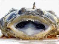 Imagem de peixe-feio