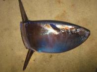 Imagem de peixe-lua-comprido