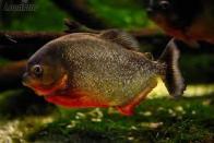 Imagem de piranha-vermelha