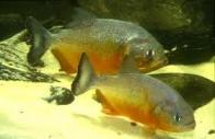 Imagem de piranha-amarela