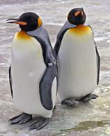 Imagem de pinguim-rei