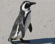 Imagem de pinguim africano