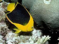 Imagem de peixe-soldado