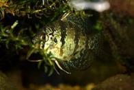 Imagem de peixe-sol