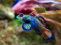 Imagem de peixe-mandarim