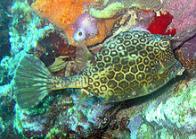 Imagem de peixe-cofre