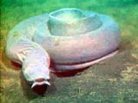 Imagem de peixe-bruxa
