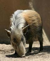 porco-do-rio