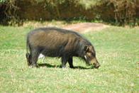 porco-gigante-da-floresta