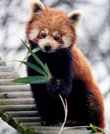 panda-pequeno