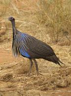 pintada-abutre