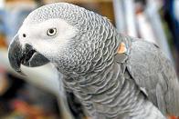 A melhor ave imitadora