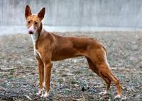 Raça de cachorro originária de Portugal