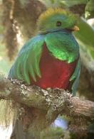 quetzal-resplandecente