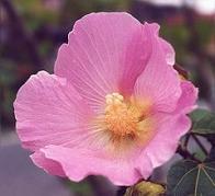 rosa-louca