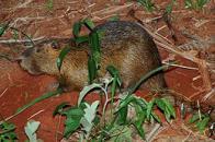 ratão-do-banhado