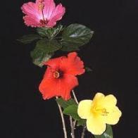 rosa-do-jap�o