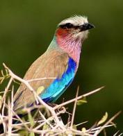 Imagem de rolieiro-de-peito-lilás