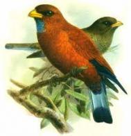 Imagem de rolieiro-de-garganta-azul