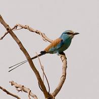 Imagem de rolieiro-da-abissínia