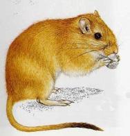 Imagem de rato-da-areia-gordo