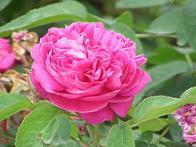 Imagem de rosa-damascena