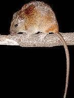 Imagem de rato-saui�