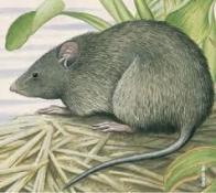 Imagem de rato-do-mato