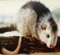 Imagem de rato-do-cacau