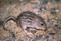 Imagem de rato-da-grama-listrado